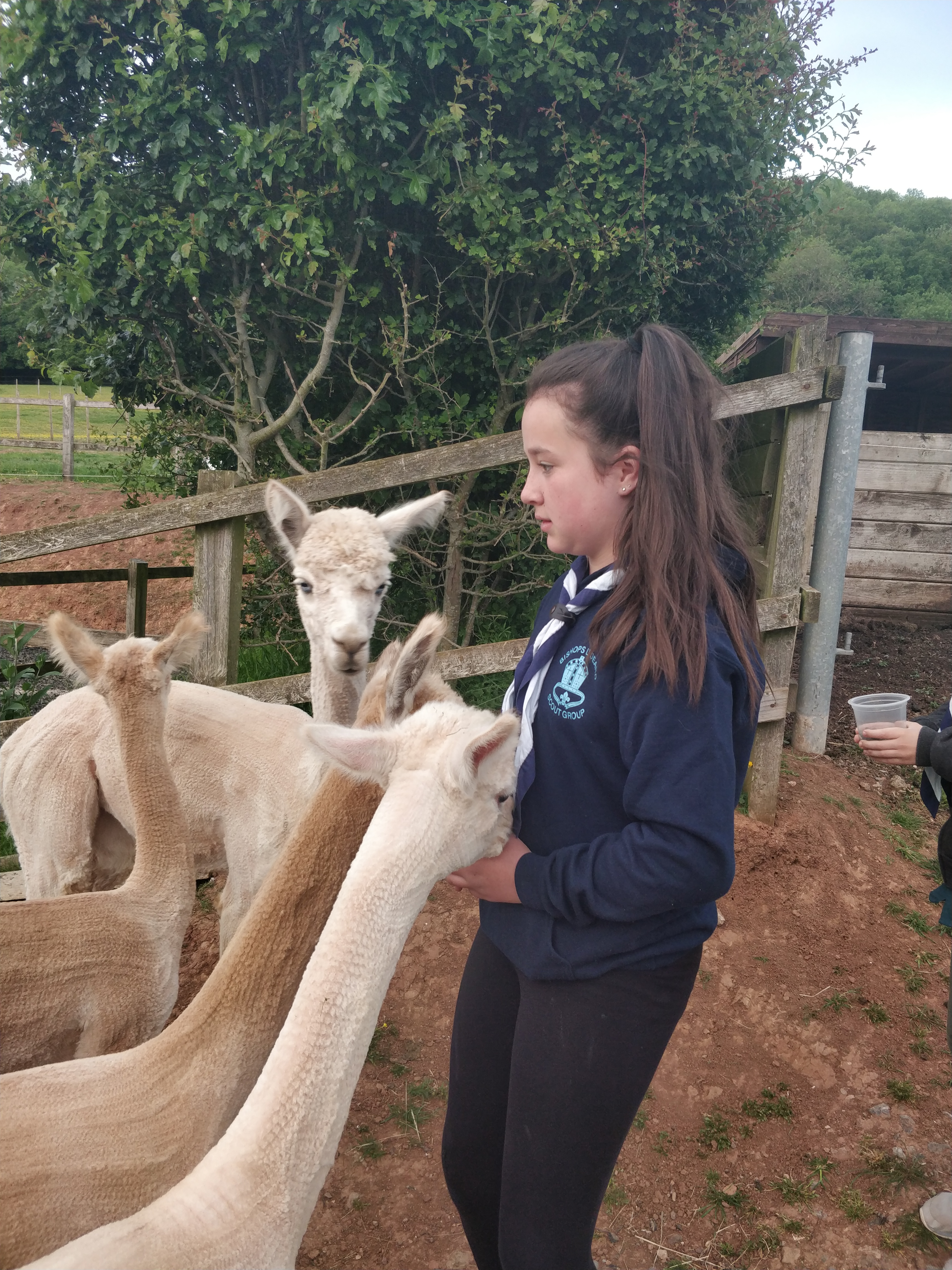 Scout Troop Alpacas Walk, May 2019